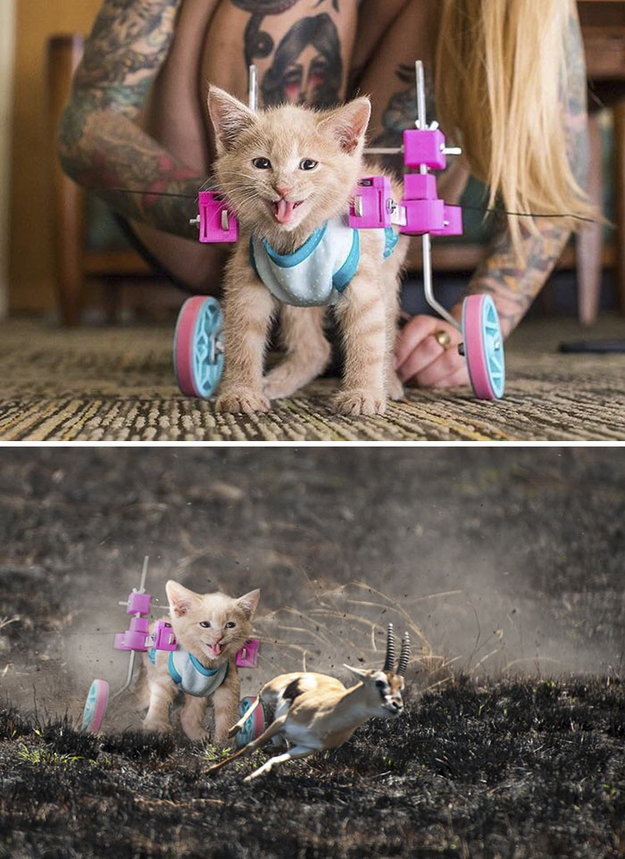 This Happy Cat In A Wheelchair