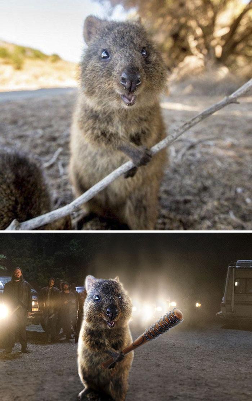 Happy Quokka With A Stick