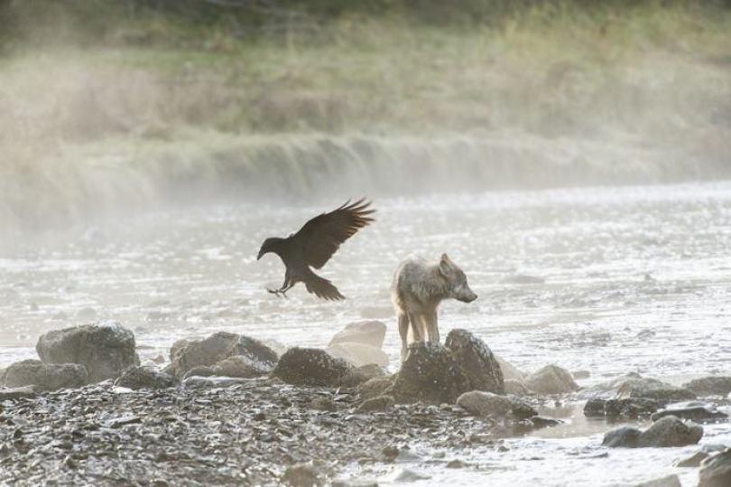 swimming sea wolves pacific coast canada ian mcallister 1 - National Geographic: Lobos do mar