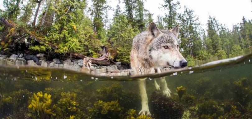 swimming sea wolves pacific coast canada ian mcallister 4 - National Geographic: Lobos do mar