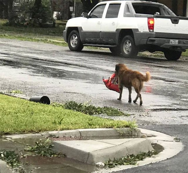A Dog Named Otis Is Walking Around Sinton Tx Carrying A Entire Bag Of Dog Food With Him
