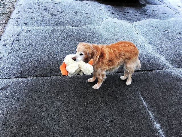 Found This Old Pupper Wandering The Streets And I Returned Him To His Home, He Brought Me His Ducky As A Thank You