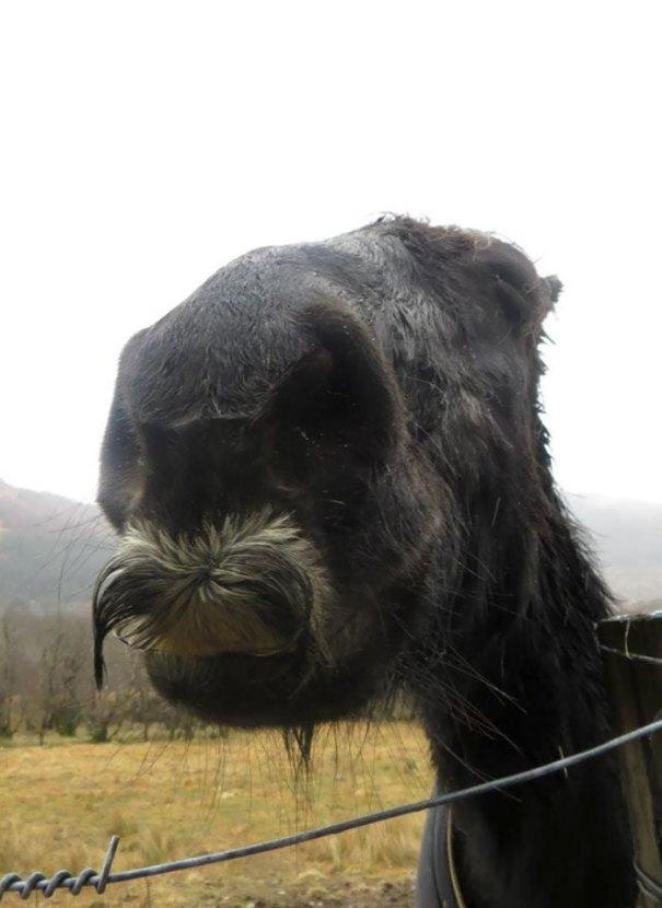 Al Weekend sono arrivato oltre un cavallo con una baffa. Lo chiamai Moustachio