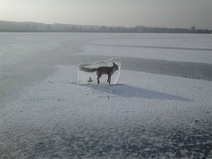 Somebody Responsible For The Lake Found The Fox (Which Drowned) In The Ice, Cut Him Out And Put Him Back On The Ice To Keep People Off The Ice