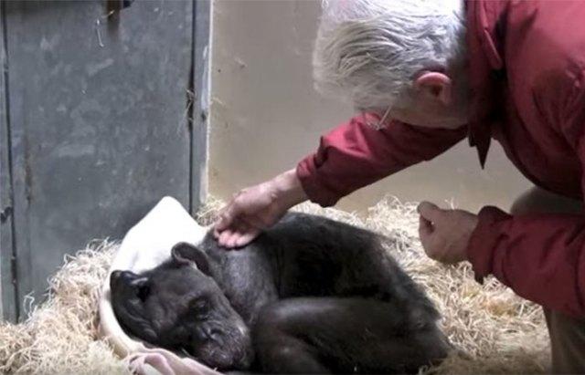 59-year-old-sick-chimpanzee-recognize-friend-jan-van-hooff-3