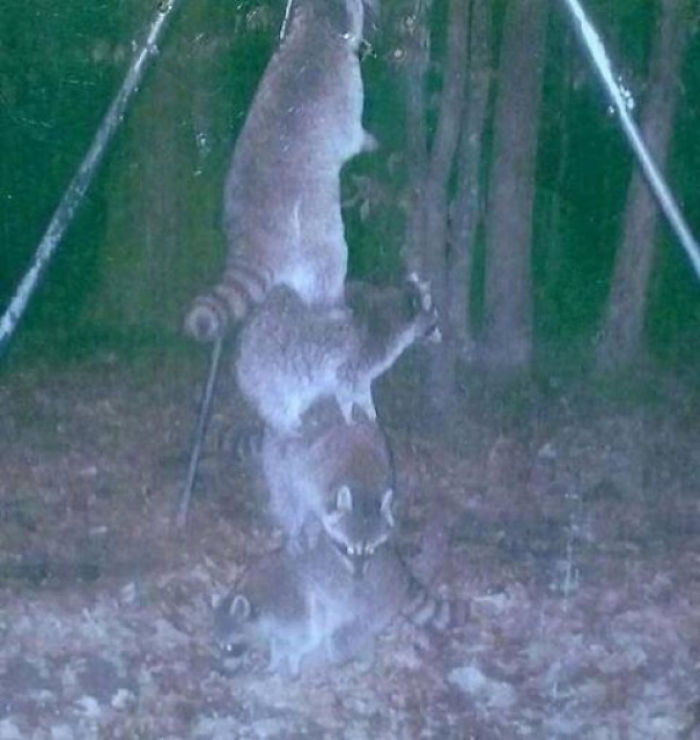 So I Set My Deer Feeder High Off The Ground So The Raccoons Couldn't Reach It