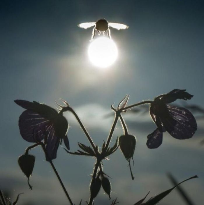 Bumblebee Carrying The Sun