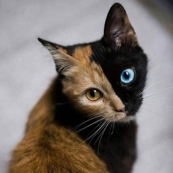 chimera-cat-split-face-different-eyes-gataquimera-24