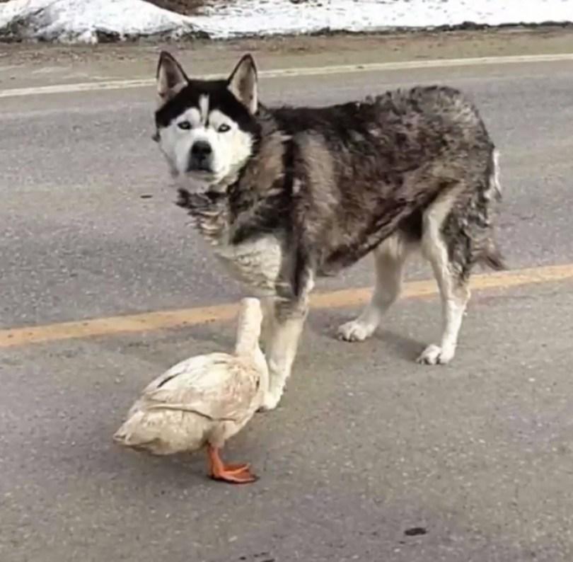dog duck friendship max quackers minnesota 3 5a09514531f7c  700 - Cachorro virou amigo inseparável de pato - Você acredita?