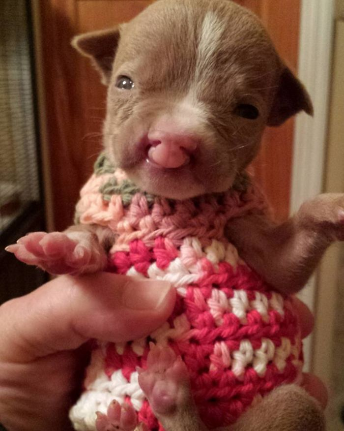 tiny pit bull sasha 19 5a3a1effc3bc0  700 - Foster Mom Refuses To Put Her Tiny Pit Bull To Sleep After It Was Born A Little Bit Different