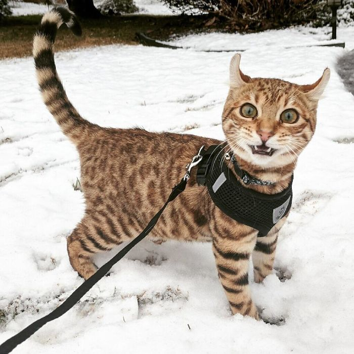 My Friend's Cat Saw Snow For The First Time Today