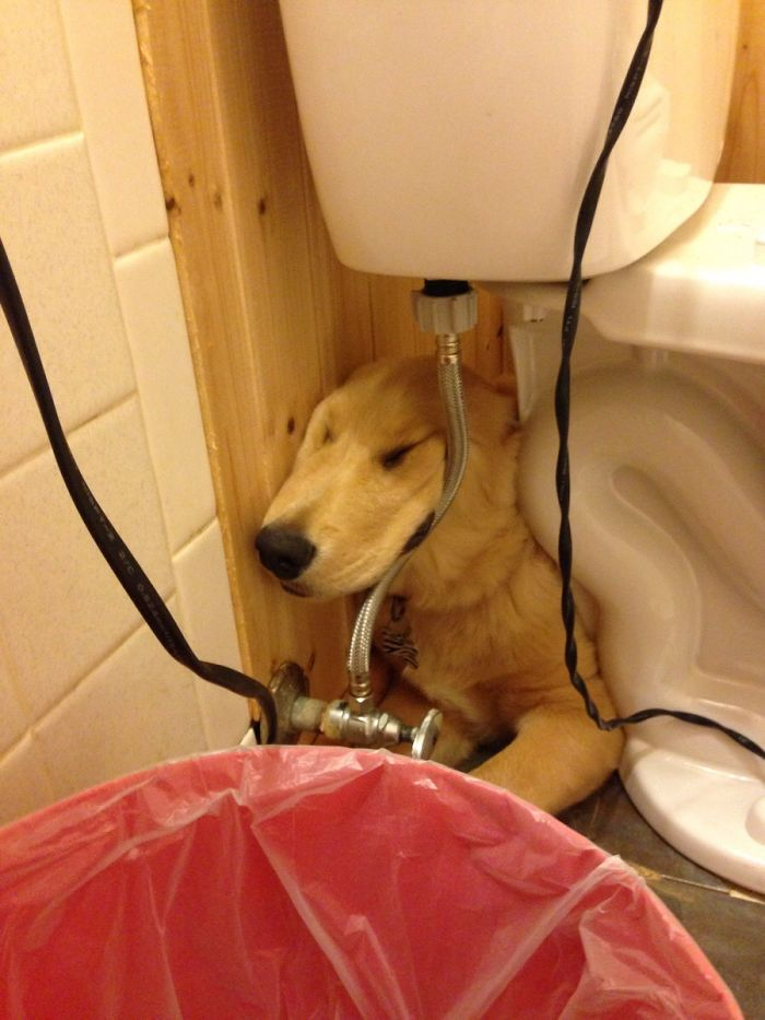 My Golden Retriever Likes To Sleep Under The Toilet