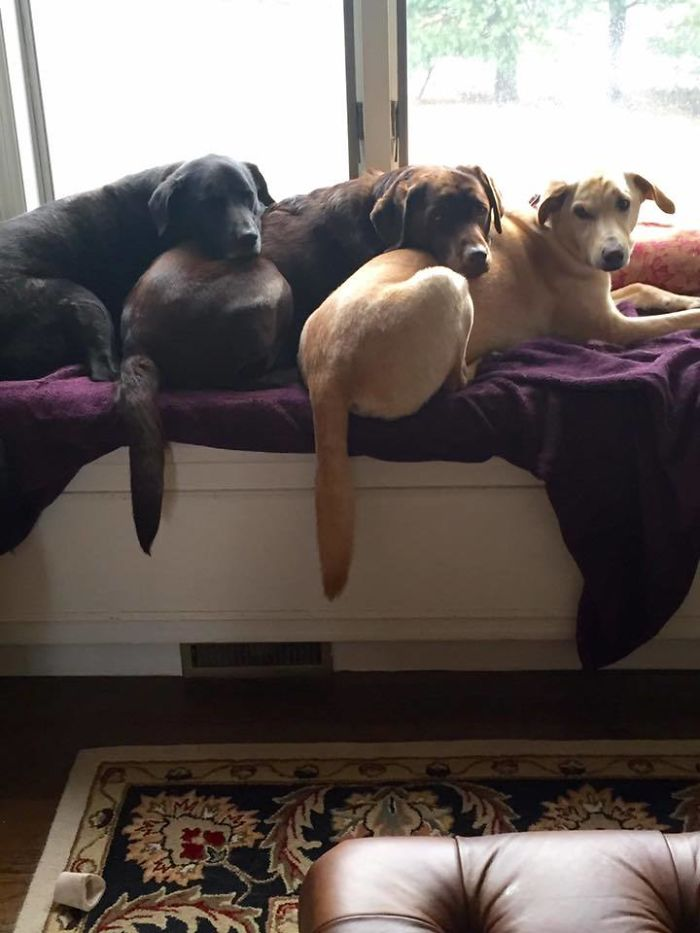 This Is How My 3 Labradors Like To Sleep Together