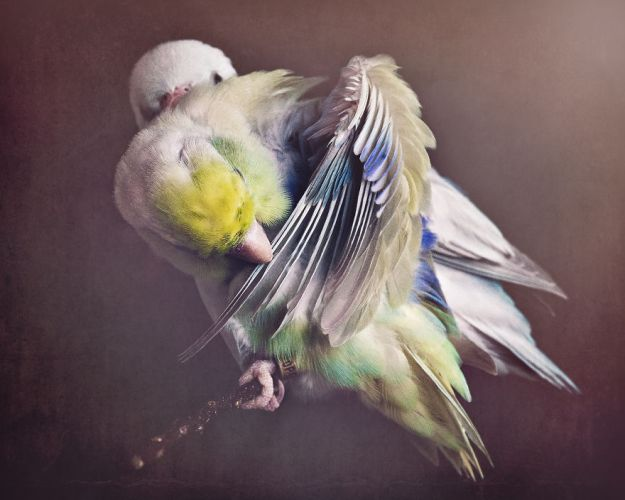Z1A0230-Edit-copy-5a832b44b9337__880 I Document A Storybook Love Between My Pastel Parrotlets, And The Result Will Melt Your Heart Design Random
