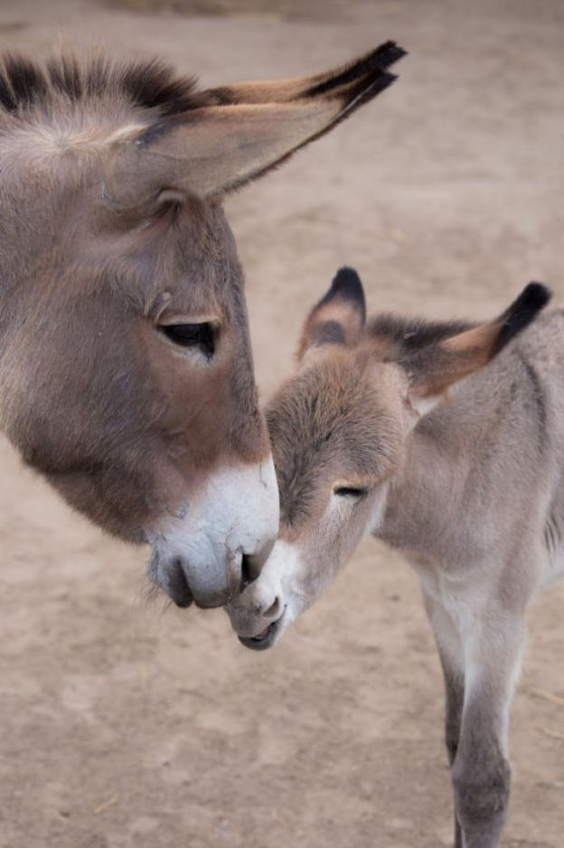 5a97fe3e5e891__700 These 25+ Cute Baby Donkeys Are Everything You Need To See Today Design Random