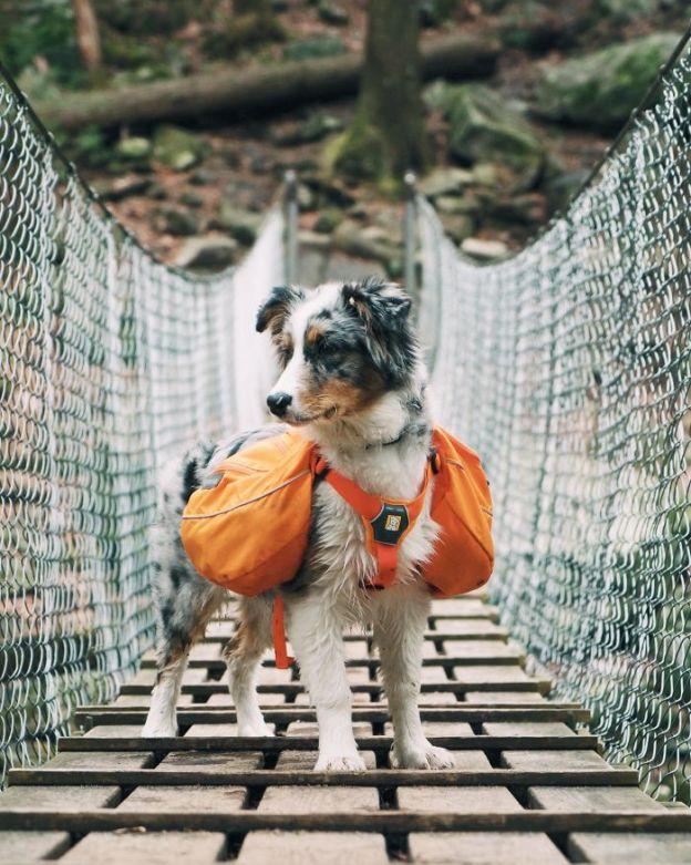 5a9fab0d5aef4_y7pvm3gwvofy__700 20+ Reasons Why Australian Shepherds Are The Best Dogs Design Random