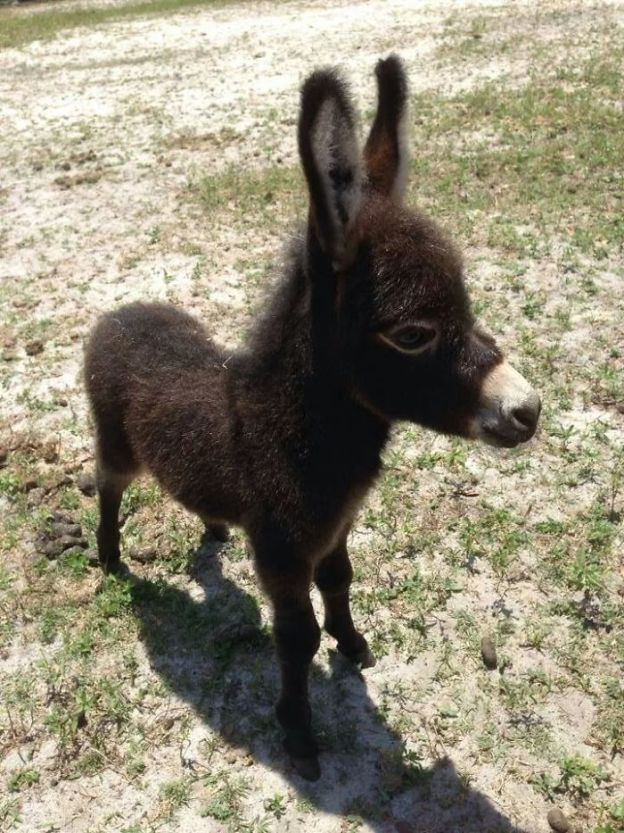 5aa9238e52b31_e7C1kfB__700 These 25+ Cute Baby Donkeys Are Everything You Need To See Today Design Random