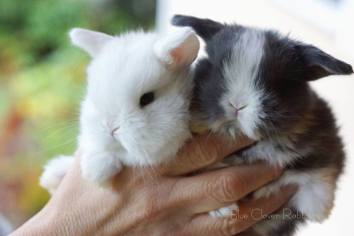 Baby-Rabbits-Palms-Blue-Clover-Rabbitry