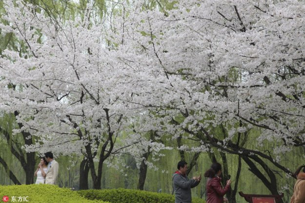 cherry-blossoms-spring-china-7-5ab26673ce818__880 Cherry Blossoms Have Just Bloomed In China, And It's Probably One Of The Most Amazing Sights On The Planet Design Random