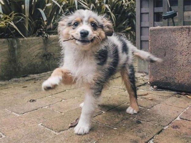 cute-australian-shepherds-18-5aa2939fe76c6__700 20+ Reasons Why Australian Shepherds Are The Best Dogs Design Random