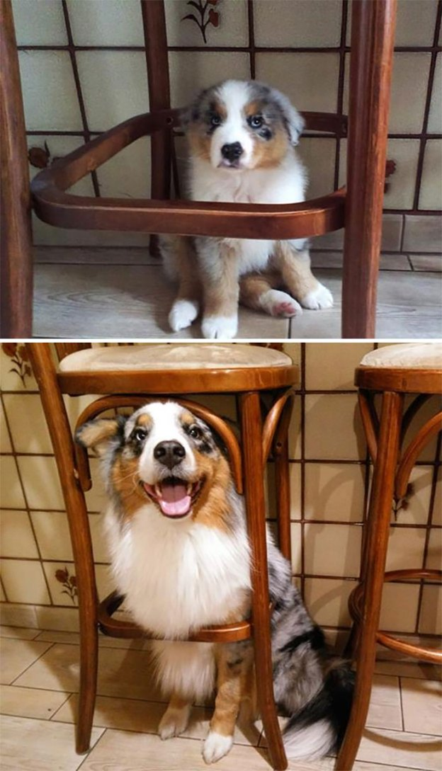 cute-australian-shepherds-29-5aaa7461a5b26__700 20+ Reasons Why Australian Shepherds Are The Best Dogs Design Random
