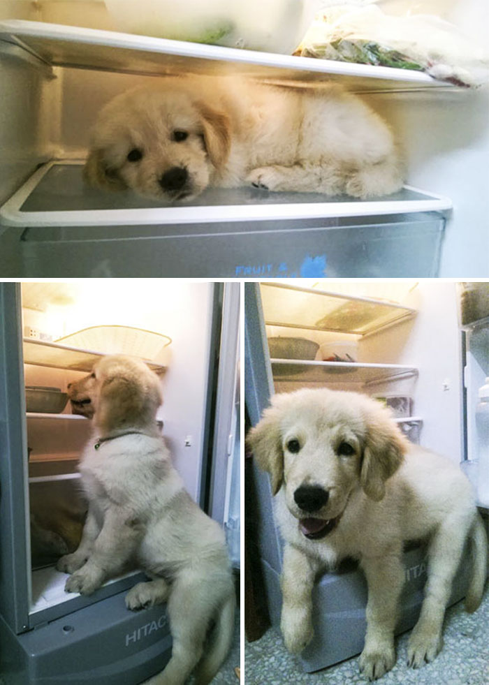 Baby Golden Retriever Realize He Can't Fit In His Old Place Anymore