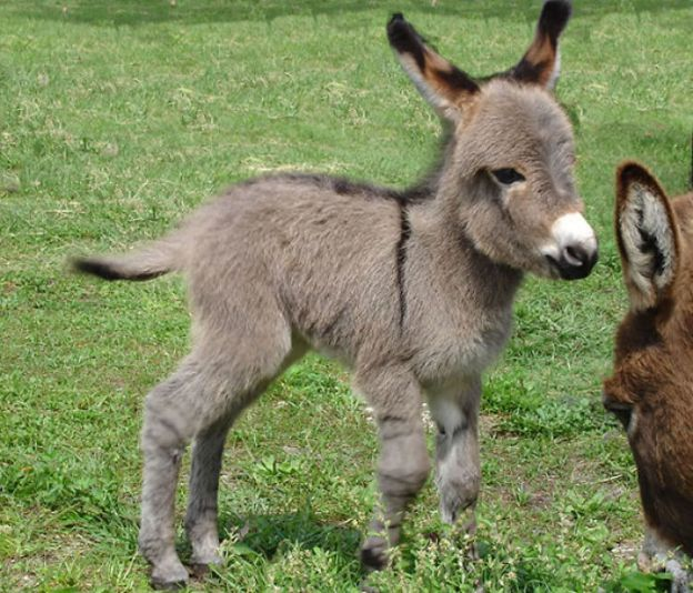 cute-miniature-baby-donkeys-1-5aa8f78ccce5a__700 These 25+ Cute Baby Donkeys Are Everything You Need To See Today Design Random