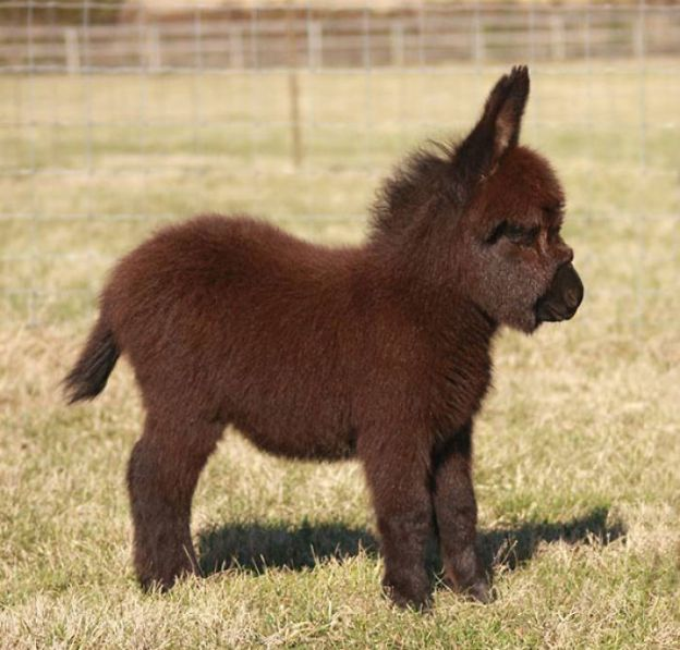 cute-miniature-baby-donkeys-10-5aa924edf2b81__700 These 25+ Cute Baby Donkeys Are Everything You Need To See Today Design Random