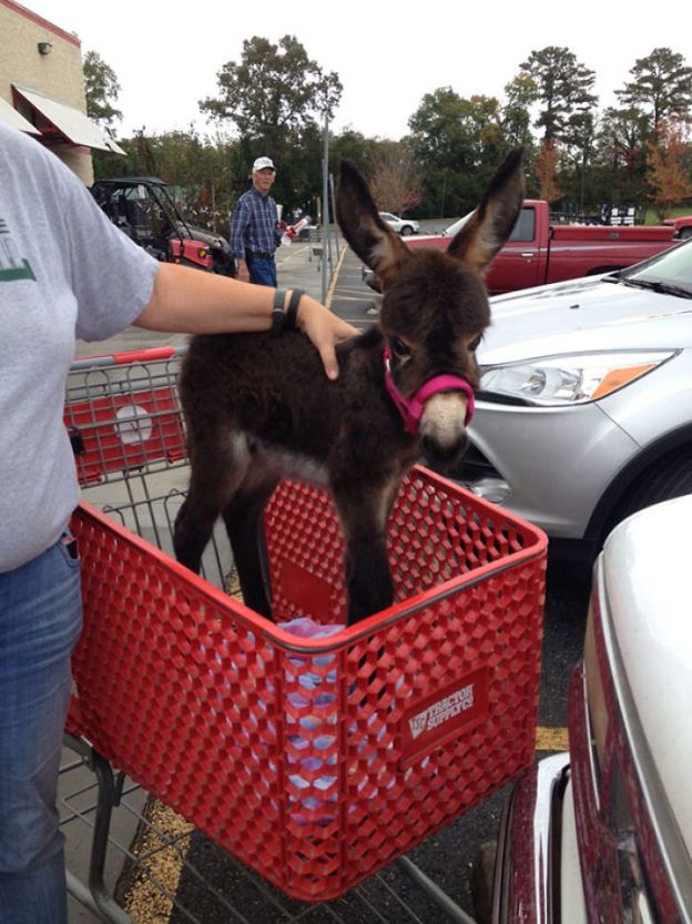 cute-miniature-baby-donkeys-13-5aaa222782e10__700 These 25+ Cute Baby Donkeys Are Everything You Need To See Today Design Random
