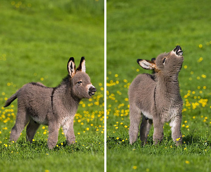 cute-miniature-baby-donkeys-14-5aaa24d57f176__700 These 25+ Cute Baby Donkeys Are Everything You Need To See Today Design Random