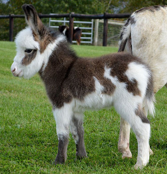 cute-miniature-baby-donkeys-34-5aaa8c502977a__700 These 25+ Cute Baby Donkeys Are Everything You Need To See Today Design Random