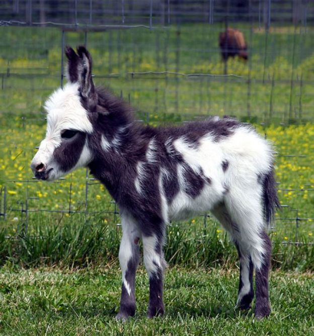 cute-miniature-baby-donkeys-39-5aaa971f288c1__700 These 25+ Cute Baby Donkeys Are Everything You Need To See Today Design Random