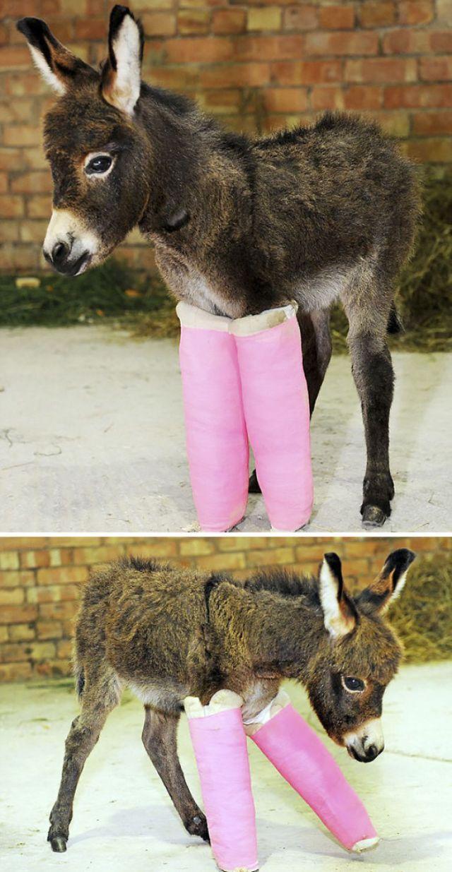 Primrose nació prematuramente y necesita escayolas para enderezar sus patas