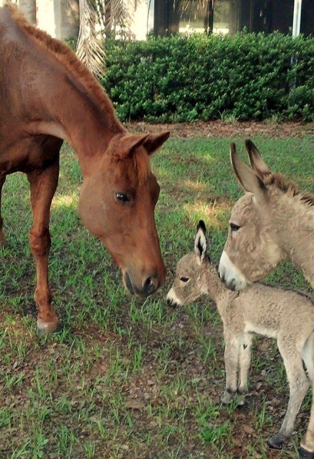 Mi borrica presentando a su bebé nacido hace cinco horas ante mi caballo