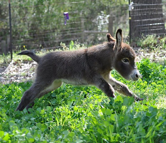 cute-miniature-baby-donkeys-67-5aa936dccb196__700 These 25+ Cute Baby Donkeys Are Everything You Need To See Today Design Random
