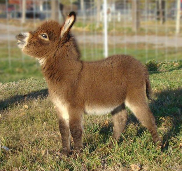 cute-miniature-baby-donkeys-7-5aa91cf6673d1__700 These 25+ Cute Baby Donkeys Are Everything You Need To See Today Design Random