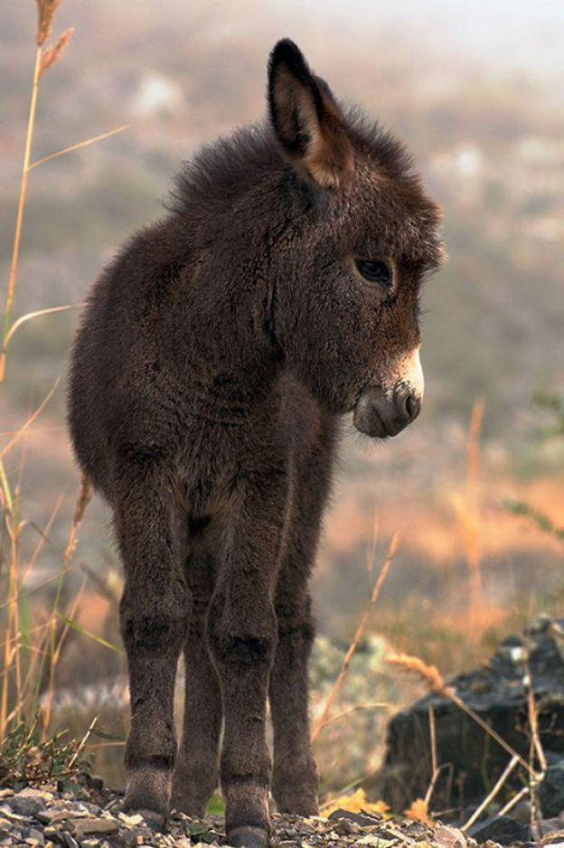 cute-miniature-baby-donkeys-8-5aa91da3b09b4__700 These 25+ Cute Baby Donkeys Are Everything You Need To See Today Design Random