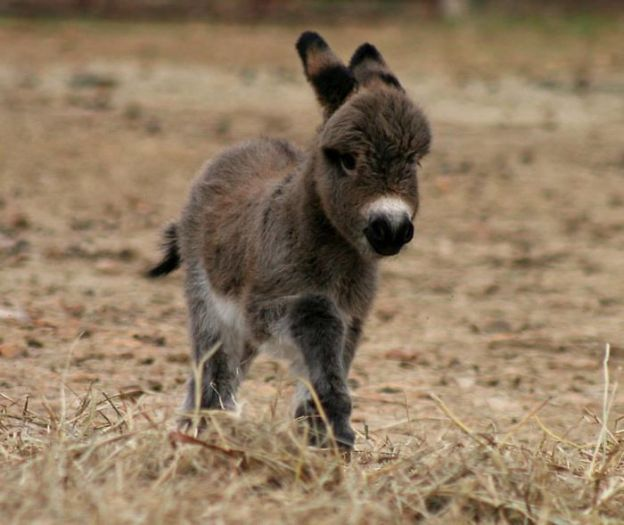 cute-miniature-baby-donkeys2-5aa944083fd00__700 These 25+ Cute Baby Donkeys Are Everything You Need To See Today Design Random