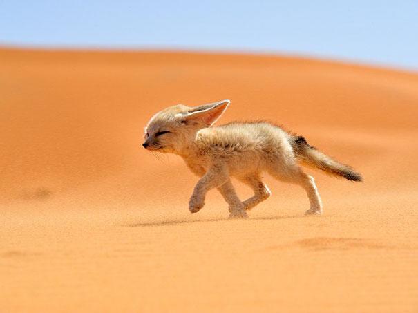 fennec-fox-vegan-diet-animal-abuse-jumanji-sonia-sae-39