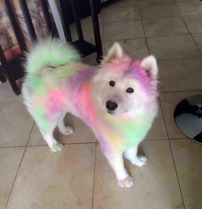 Our Samoyed Post Colour Run