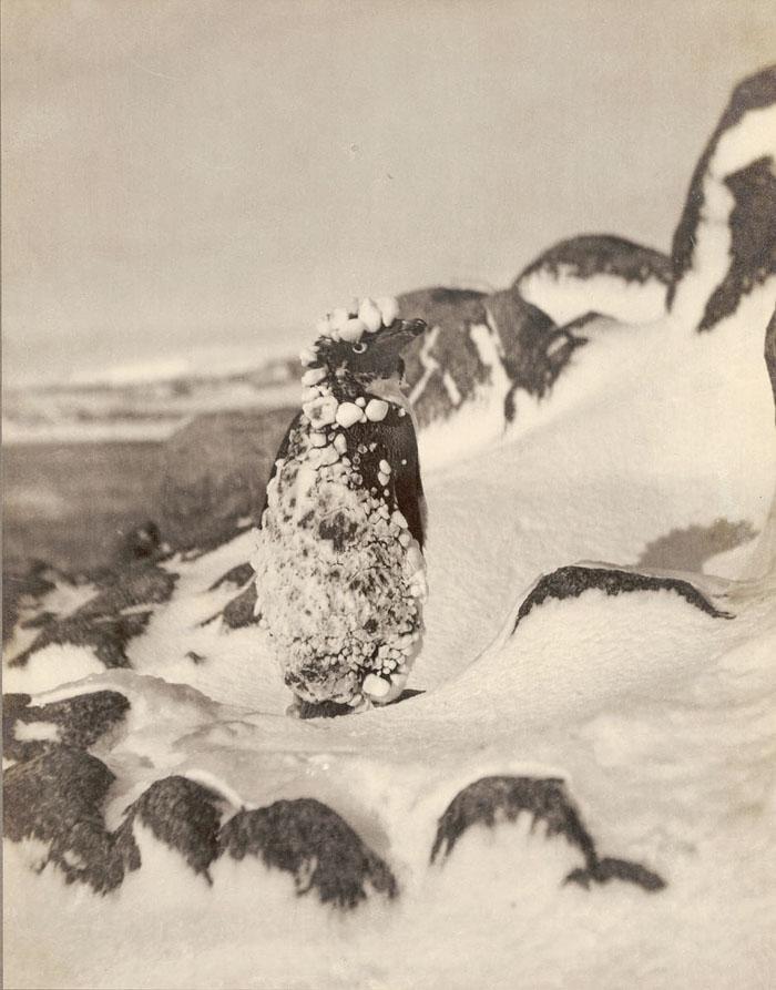 Frozen Adelie Penguin, Antarctica