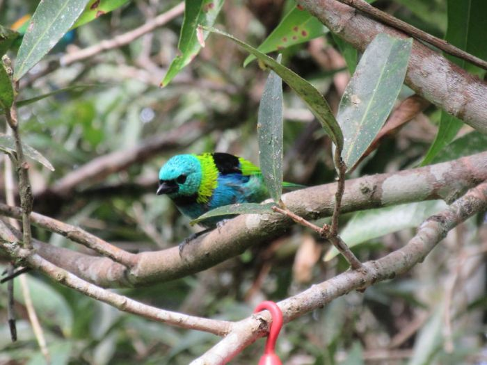 Beautiful Green-Headed Tanager!