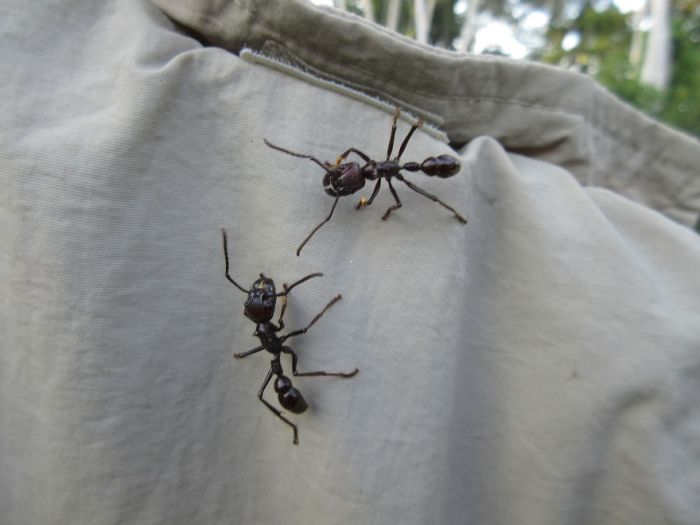 2 Inch Bullet Ants! Climbing All Over Your Laundry....