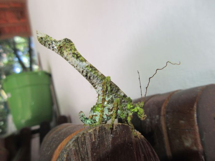 Grasshopper That Looks Like Tree Bark!