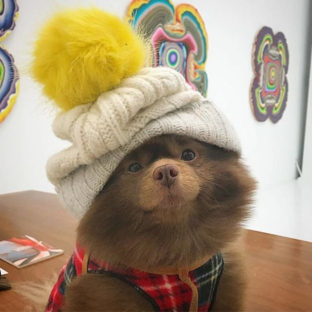 """Bdd4dqWgzu_-png__700 Breeder Abandoned 5-Month-Old Pomeranian Because He Was """"Too Big"""", They Probably Regret It Now Design Random"""