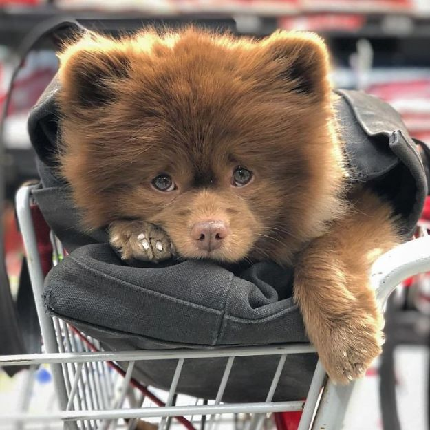"""BkJ4NpADz57-png__700 Breeder Abandoned 5-Month-Old Pomeranian Because He Was """"Too Big"""", They Probably Regret It Now Design Random"""