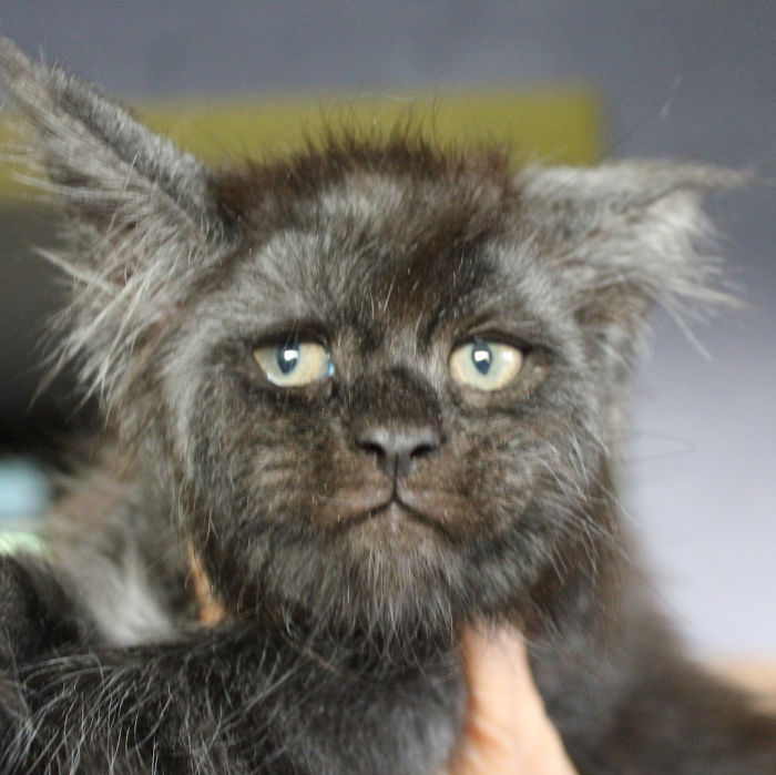 Cat-becomes-popular-on-the-internet-for-resembling-a-human-5b4320cfb4a17__700 This Cat With A Human-Like Face Is Going Viral, And We Can't Unsee It Design Random