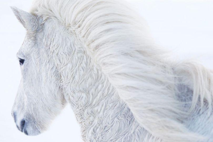 animal photography icelandic horses in the realm of legends drew doggett 9 5b5afbdf20ba0  880 - Encantadora série de fotografias de Drew Doggett e os cavalos islandeses