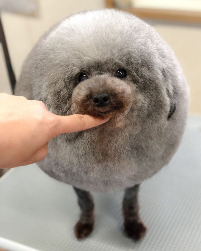 dog-grooming-transformations-yoriko-hamachiyo-japan-43