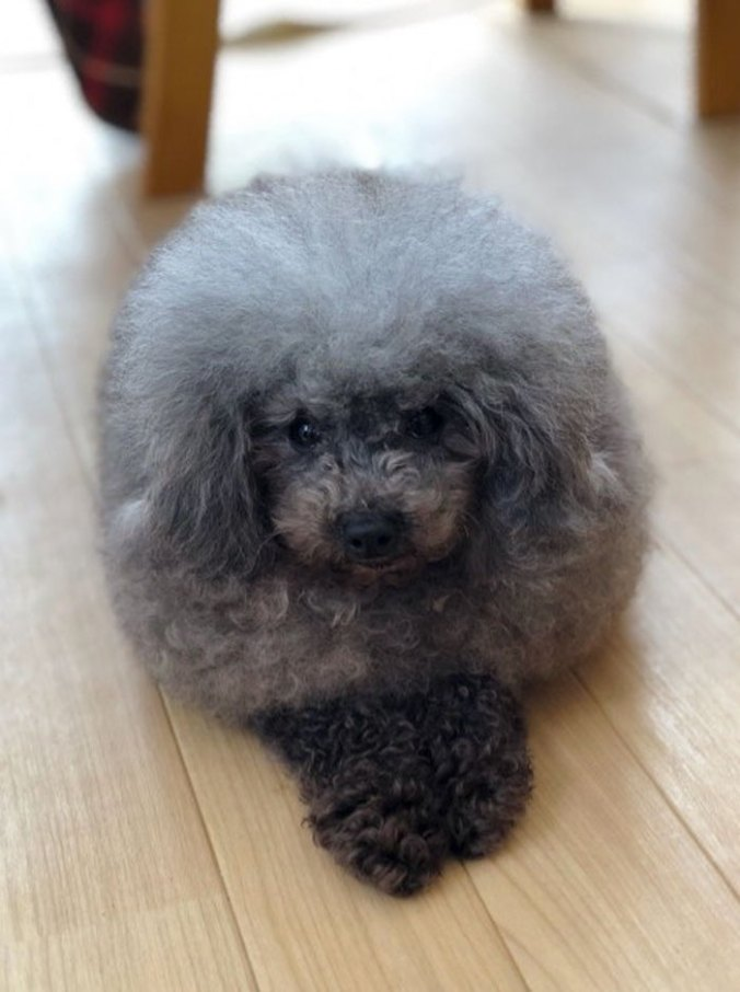 dog-grooming-transformations-yoriko-hamachiyo-japan-50